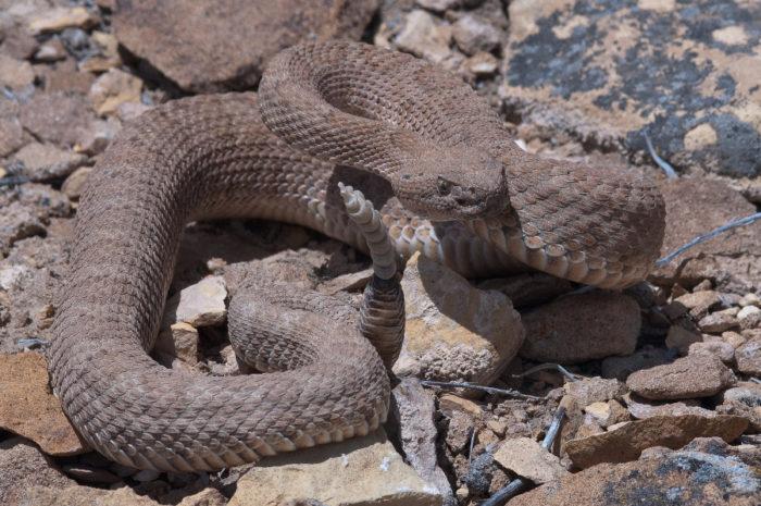 12. Midget Faded Rattlesnake