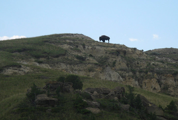 Not to mention the chance to see some wildlife up close, like this bison surveying the land for himself on a hill in the park.