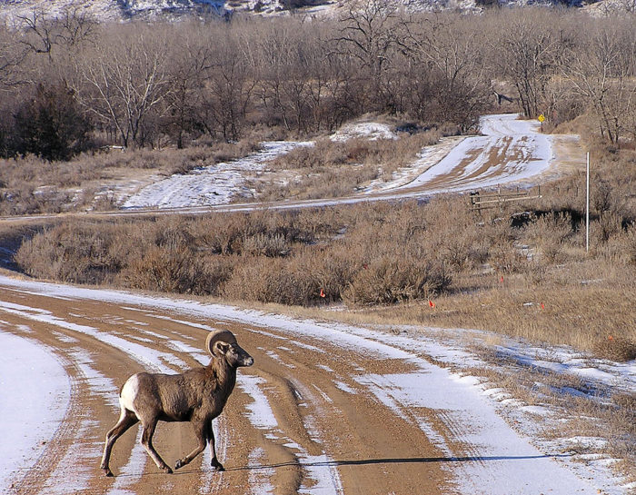 Even bighorn sheep roam the land, and even the roads. They are among tons of creatures that call Sully Creek home.