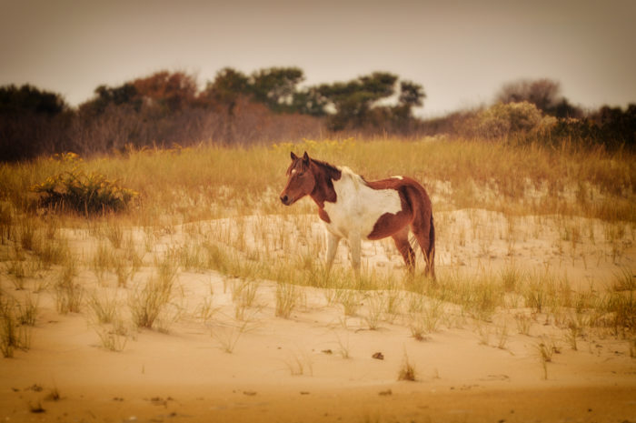 7. At Assateague State Park you'll capture enchanting scenes full of sand of wild ponies.