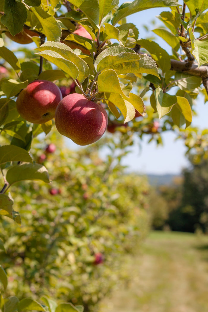6. An apple fresh off the tree is the only type of apple worth eating.