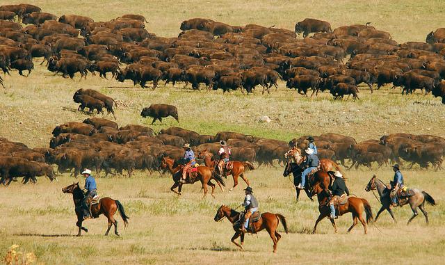 1. Buffalo Roundup