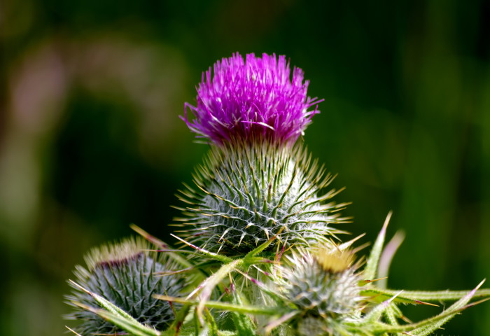 1. Thistles may not grow in one's yard.