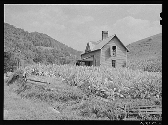 13. The tobacco grows high around this farmhouse in northwest Asheville.
