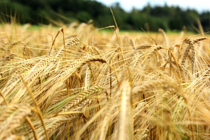 9. ... Barley...