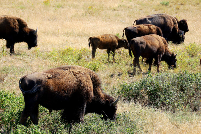 4. Conservation of the American bison.