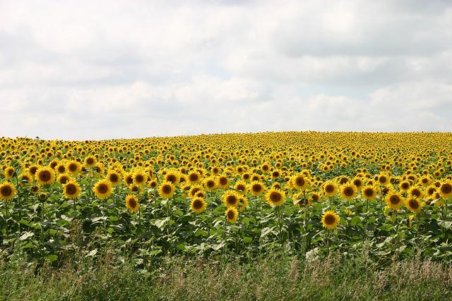 5. Sunflower Fields