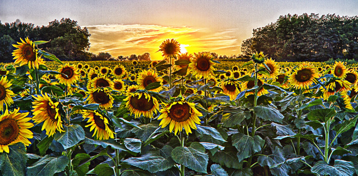 14. (...including the beautiful fields of sunflowers)