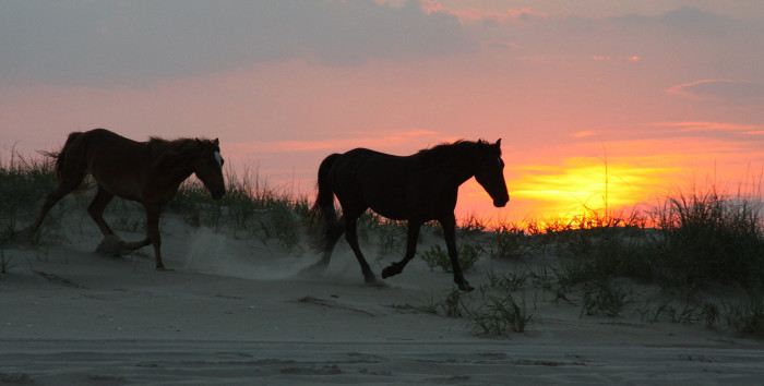 10. Witnessing the wild horses that roam North Carolina's OBX is a MUST for anyone, but especially for a couple looking for something romantic, adventurous, and wild!