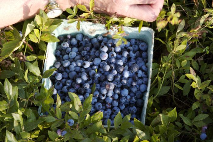 4. Pick blueberries.