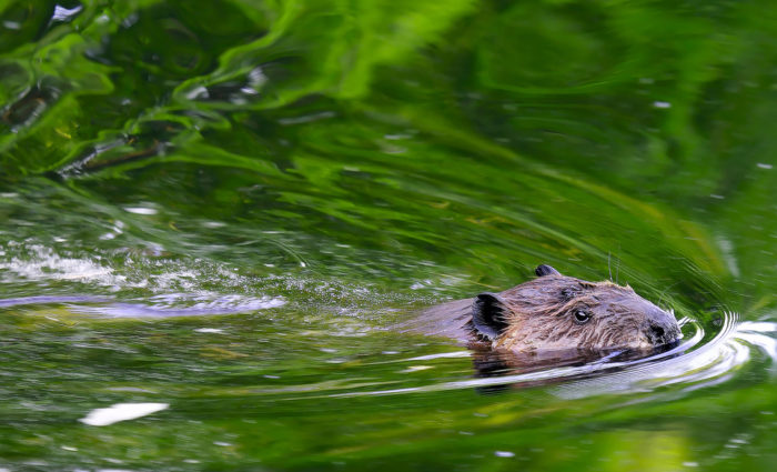 14. Beavers have also played a crucial role; their dams have increased wetland areas and thus increased the biodiversity of the region.