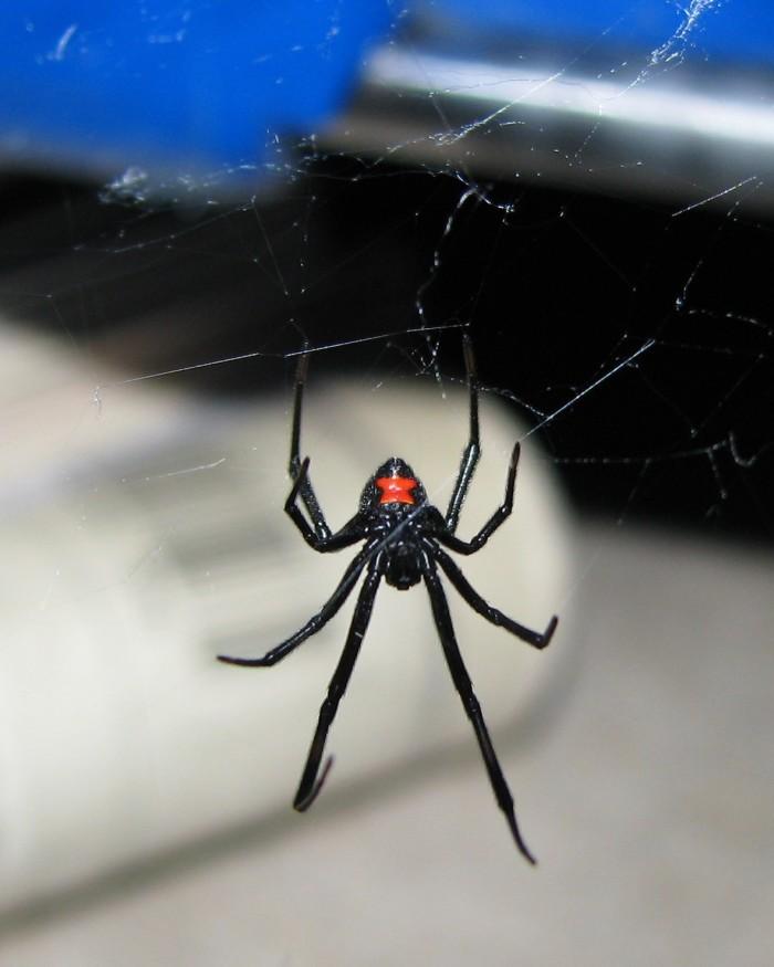 10. Black Widow Spider