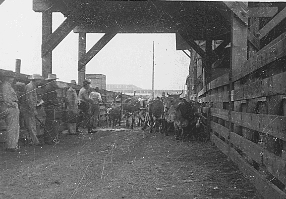 5. Cattle being herded into a pen in Halliday, ND - 1952