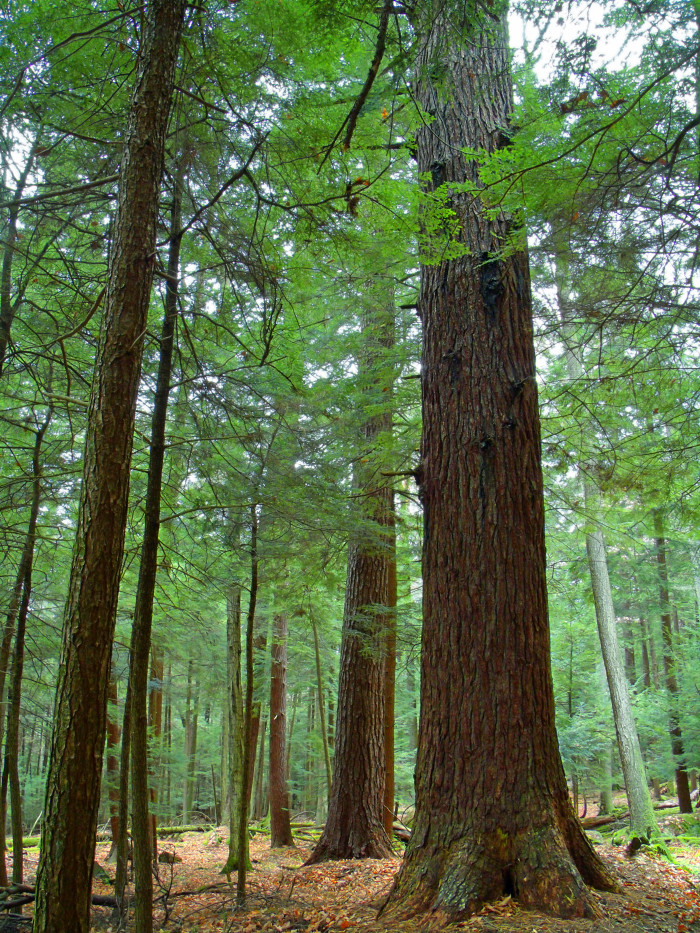 Cook Forest Cathedral Trees