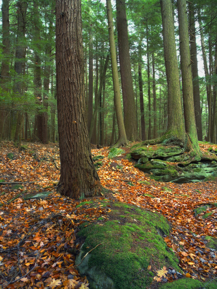3. Bridle Trail, Cook Forest State Park