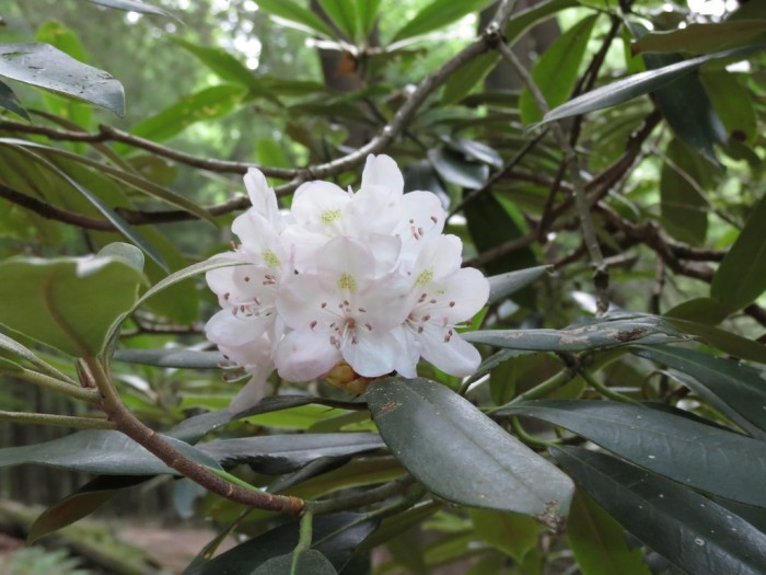 4. Rhododendron Trail, Cook Forest State Park