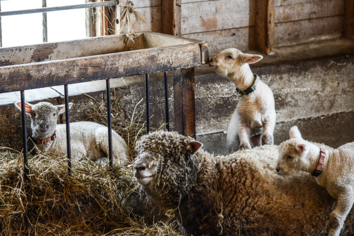 6) The flock of Southdown sheep