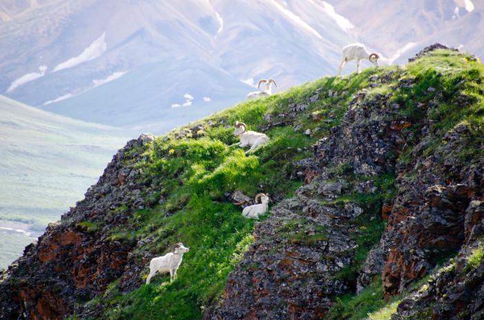 Denali 2 - Dall Sheep - Flickr - crosby_cj