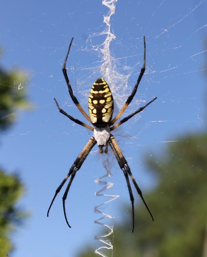 4. Black and Yellow Garden Spider