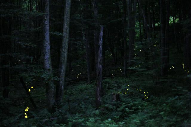 PA Fireflies