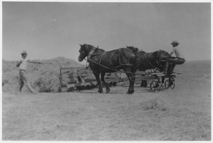 2. Gathering hay out in a field - 1950