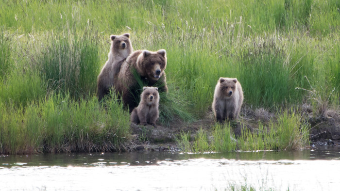 Brown Bear Mother with Yearlings, Katmai National Park