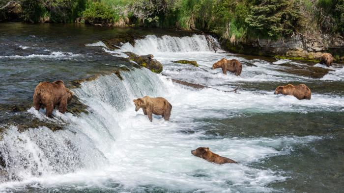 Brown Bears at Brooks Falls, Katmai National Park