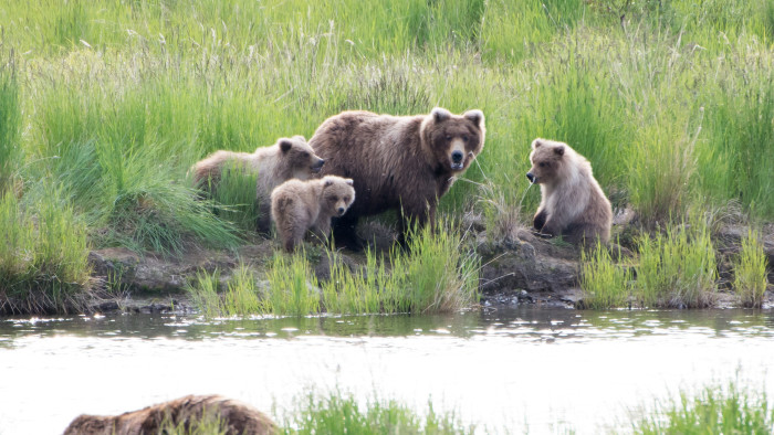 21. Go Bear Viewing in Katmai National Park