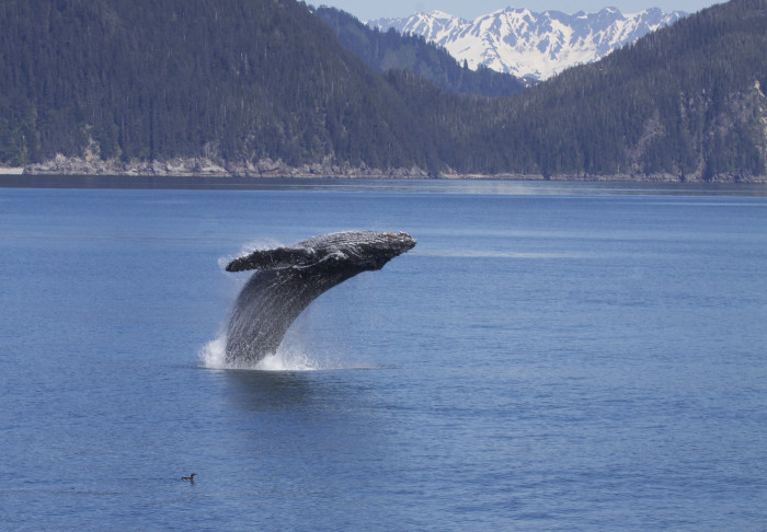 KF 2 - Humpack Whale Breaching - Flickr - Gregory Slobirdr Smith