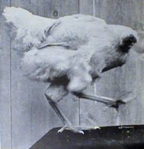 9. Mike the Headless Chicken managed to survive a beheading in 1945 in Colorado and survived for two years. He became a sideshow act but died in 1947 in a Phoenix motel.