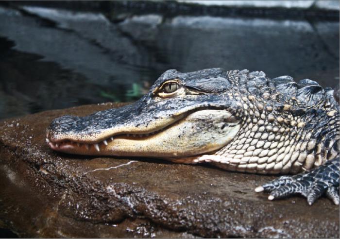 8. Alligators