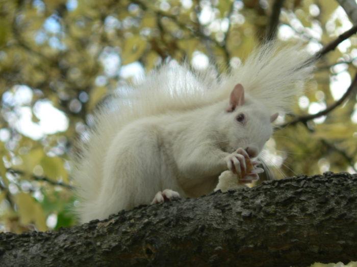White Squirrel eating.