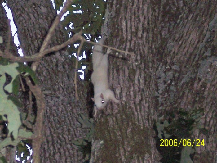 2. White Squirrels of Bowling Green