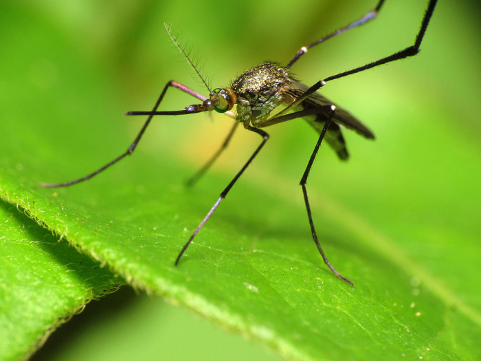 4. Pour a bit of olive oil in standing water to keep mosquitoes from breeding in it. The olive oil will form a sort of skin on the water, which mosquito moms don't like.