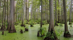 Most People Don't Know About This Eerily Beautiful Swamp Hidden In Illinois