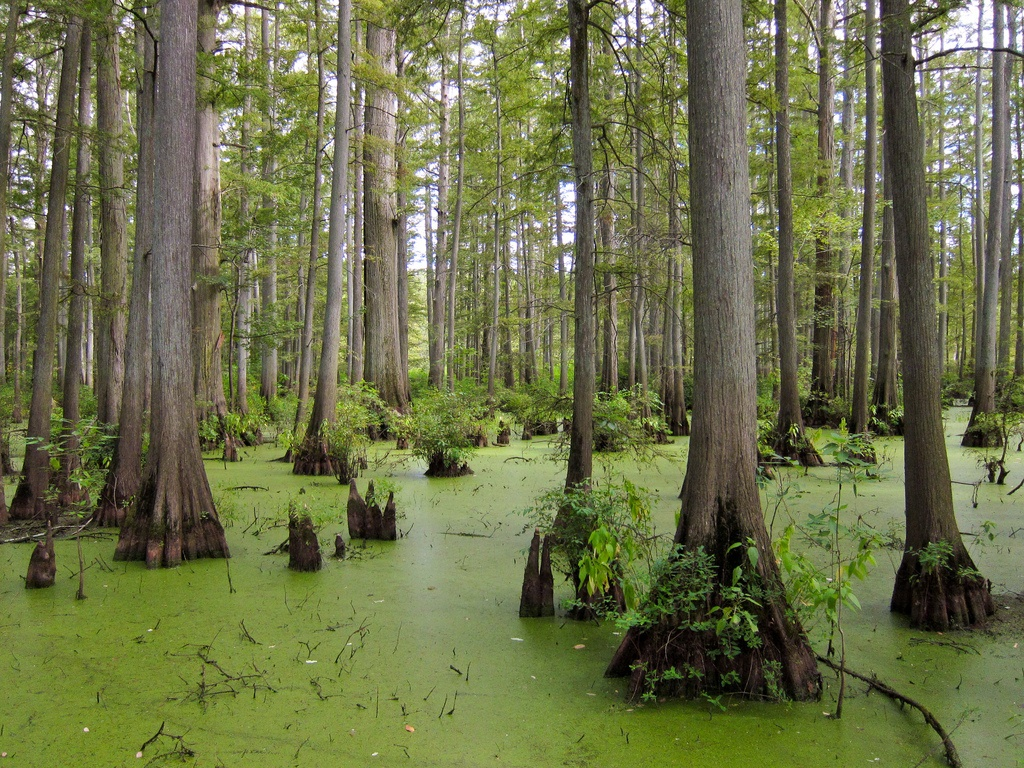 The Cache River Natural Area Is A Beautiful Swamp