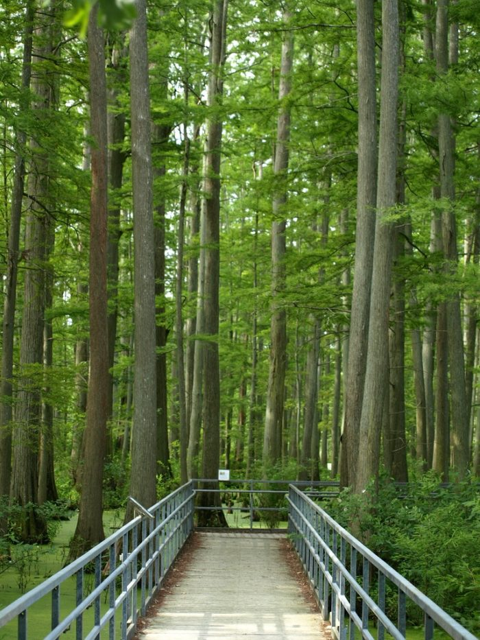 8. The boardwalk is only 465 feet, but you will see oaks, tupelos and cypresses.