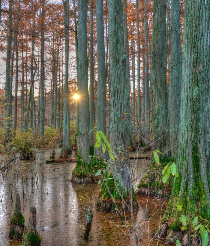 1. The Cache River State Natural Area is a swamp home to bald cypress trees.