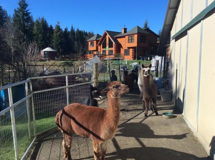 7. Paca Pride Guest Ranch, Snohomish County