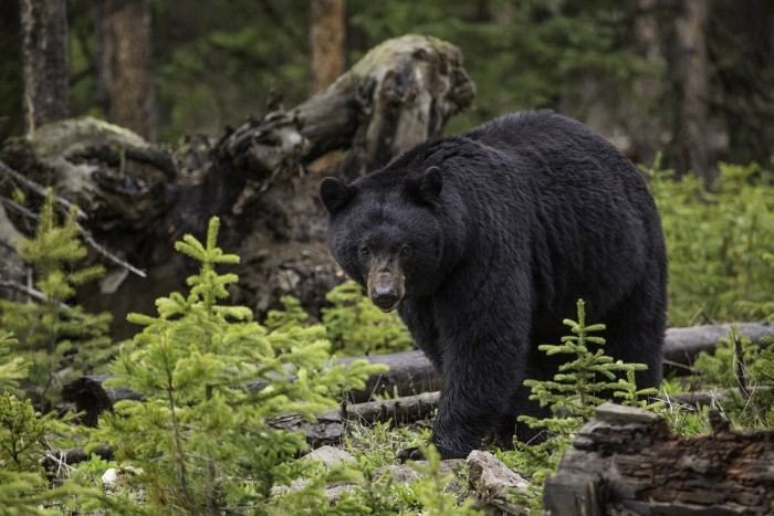 9. Since the 1950s, Arkansas has been trying to help its native bear population rebound. Somehow it's become totally legal to kill a bear in Arkansas under the right circumstances. And totally illegal to wake one with flash photography.