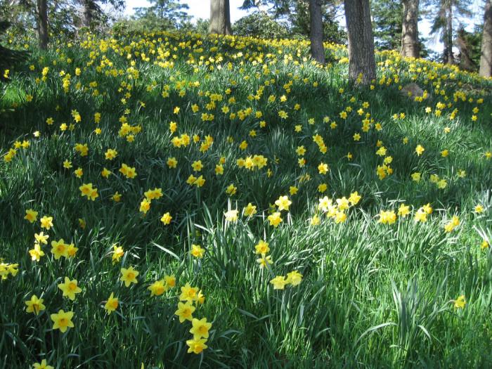 10. McLaughlin's Daffodil Hill