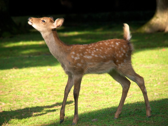 2. Deer were once so rare that a donated fawn was the first animal at the Oklahoma City Zoo.