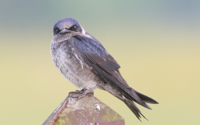 purple-martins-at-dreher-island