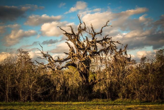 7. The Iron Oak,..a massive oak near the Pearl River