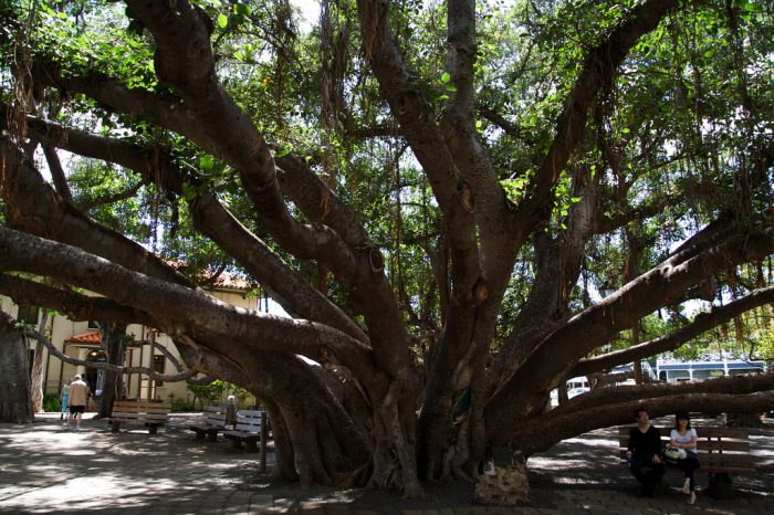 10. Lahaina Banyan Tree