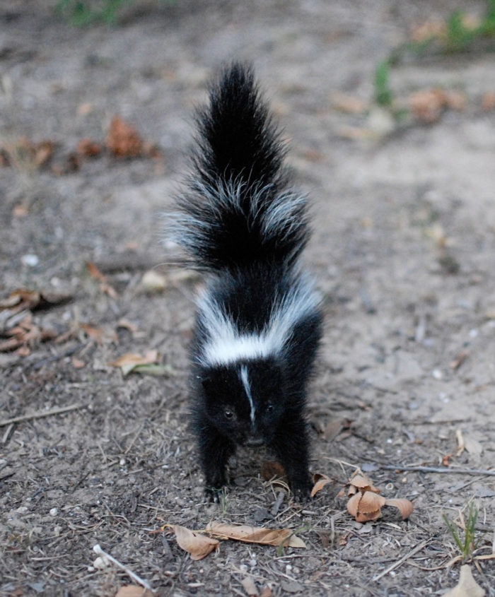 10. Skunks are protected, you know.