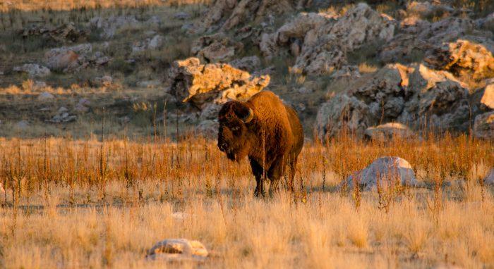 6. Photograph wildlife at Antelope Island.
