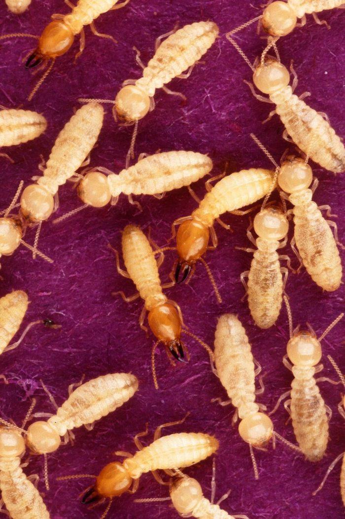1024px-Formosan_subterranean_termites_are_feeding