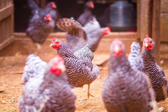 4.  Head to the back yard to the chicken coop for some fresh eggs.