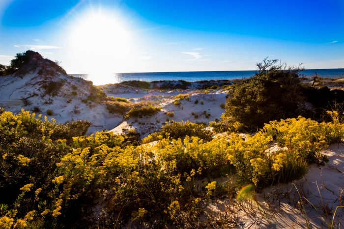11. Dunes covered in cheery goldenrod at T.H. Stone Memorial St. Joseph Peninsula State Park, Cape San Blas.
